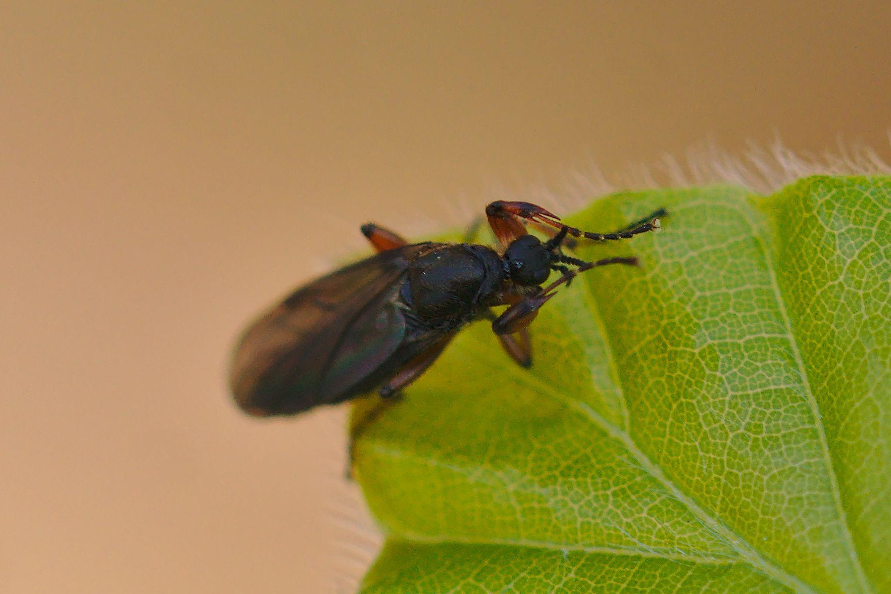 <i>Bibio lanigerus</i> (Wollige Haarmücke)