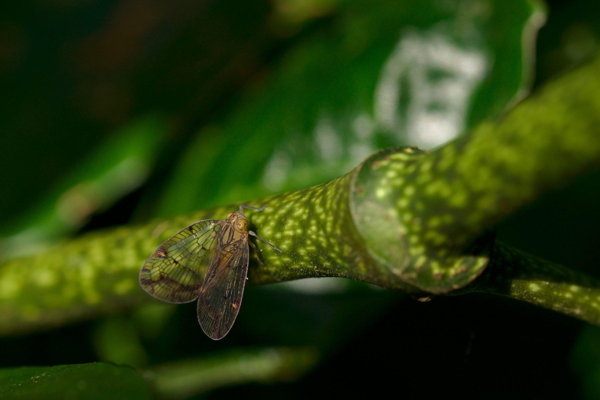"""<a href=""""/biolleyana-sp"""" target=""""_blank"""" rel=""""noopener noreferrer""""><i>Biolleyana</i> sp. (Zikade)</a>"""