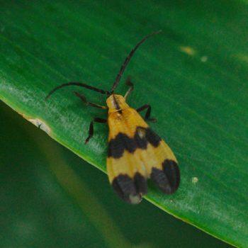 Calopteron sp. (Rotdeckenkäfer) - Costa Rica