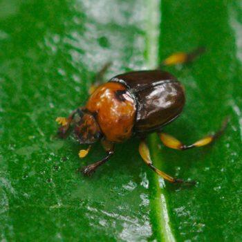 Canthon angustatus (Blatthornkäfer)