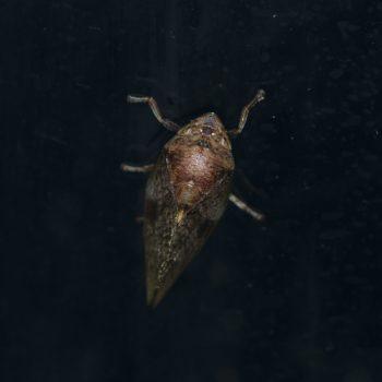 Cephisus siccifolius (Schaumzikade)