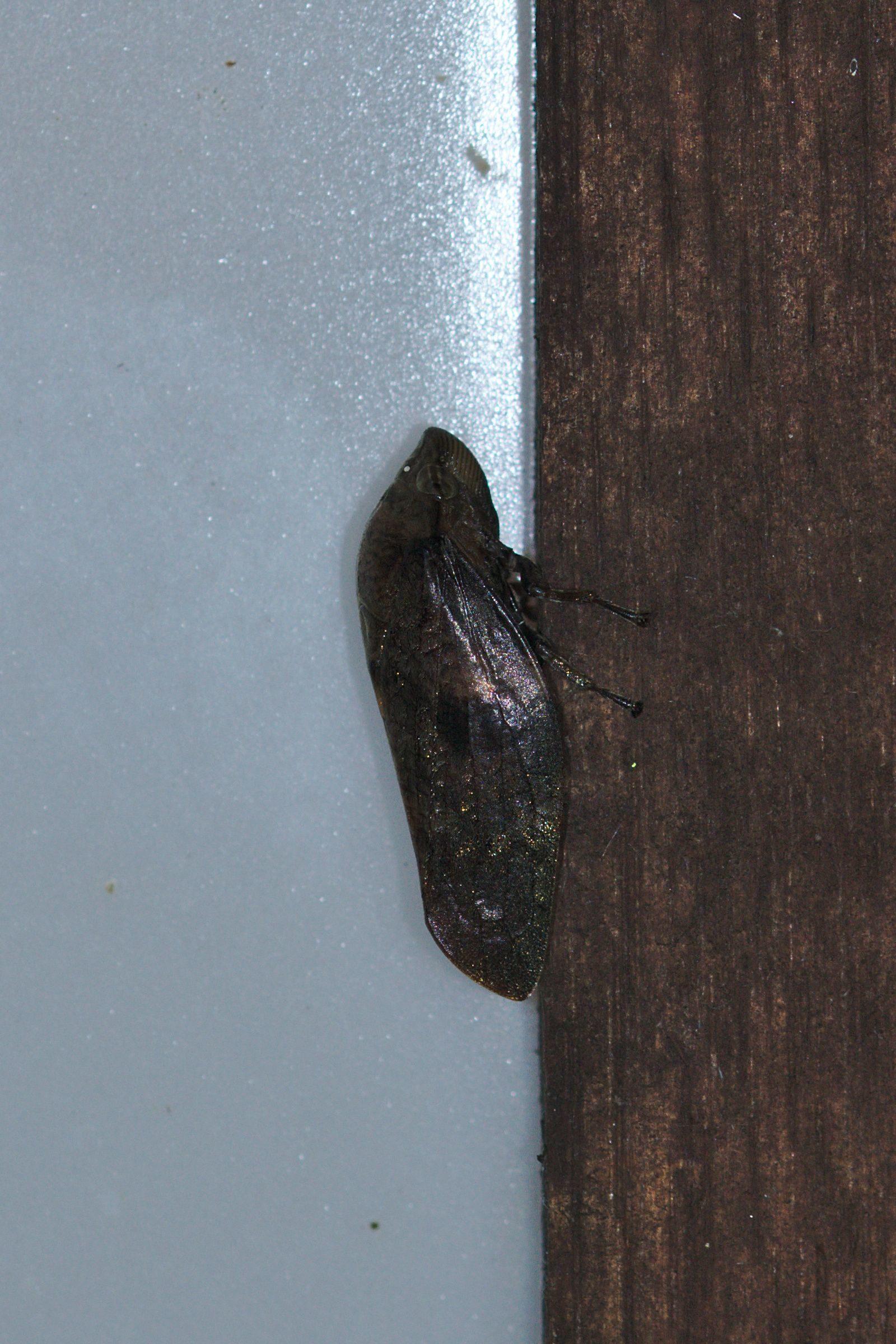 <i>Cephisus siccifolius</i> (Schaumzikade)