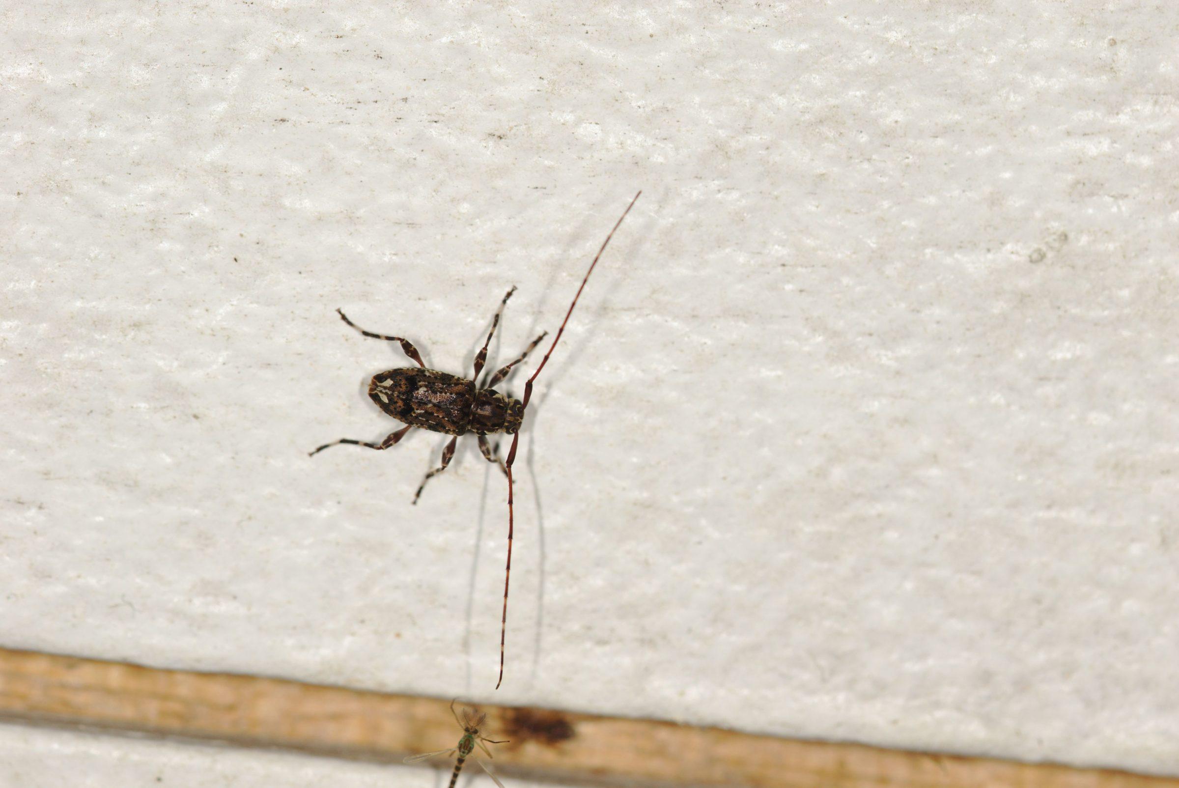 Cerambycidae sp. (Bockkäfer)