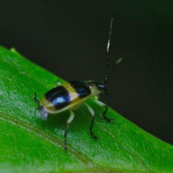Chrysomelidae sp. (Blattkäfer)