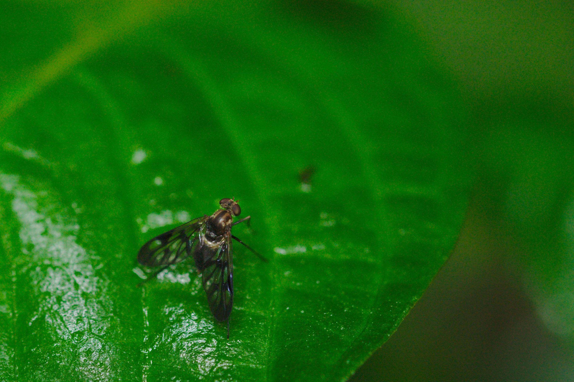 <i>Chrysopilus</i> sp. (Schnepfenfliege)