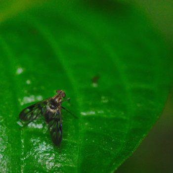 Chrysopilus sp. (Schnepfenfliege)
