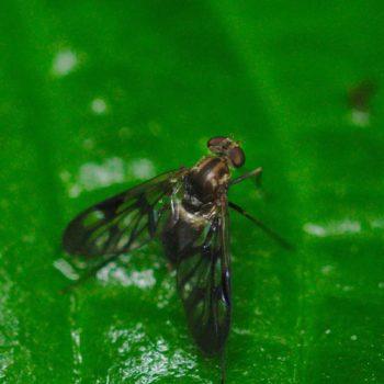 Chrysopilus sp. (Schnepfenfliege) - Costa Rica