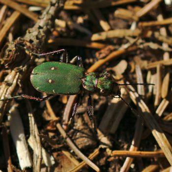 Cicindela campestris (Feld-Sandlaufkäfer)