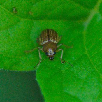 Colaspis hypochlora (Blattkäfer)