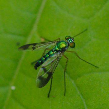 Diptera (Zweiflügler) - Costa Rica 2018