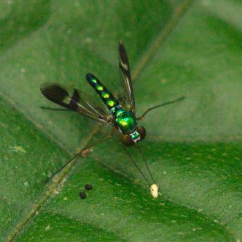 Condylostylus sp. (Langbeinfliege) - Costa Rica