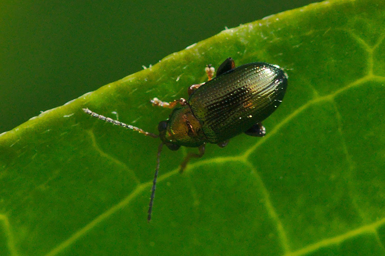 <i>Crepidodera plutus</i> (Blattkäfer)
