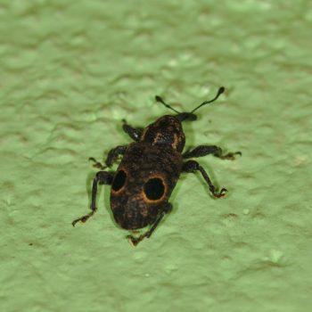 Heilipodus biplagiatus (Rüsselkäfer)
