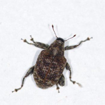Pseudopiazurus centraliamericanus (Rüsselkäfer)