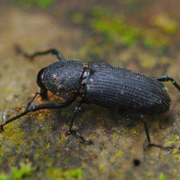 Rhinostomus cf. barbirostris (Bärtiger Rüssler)