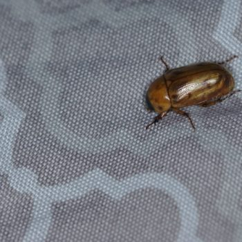 Cyclocephala lunulata (Blatthornkäfer)
