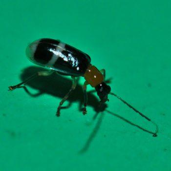 Diabrotica caveyi (Blattkäfer)
