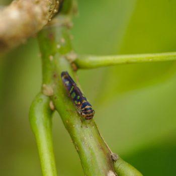 Dilobopterus sp. (Schmuckzikade)