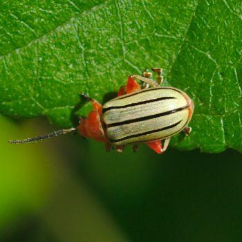 Disonycha sp. (Blattkäfer)