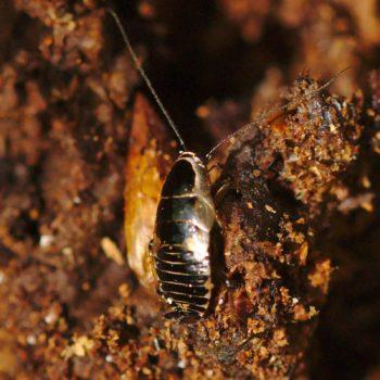 Ectobius sylvestris (Echte Waldschabe)