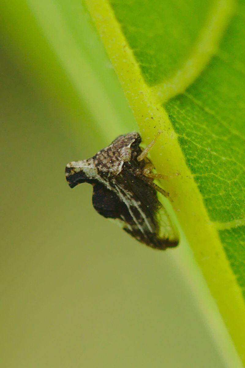 "<a href=""/entylia-carinata"" target=""_blank"" rel=""noopener noreferrer""><i>Entylia carinata</i> (Buckelzirpe)</a>"