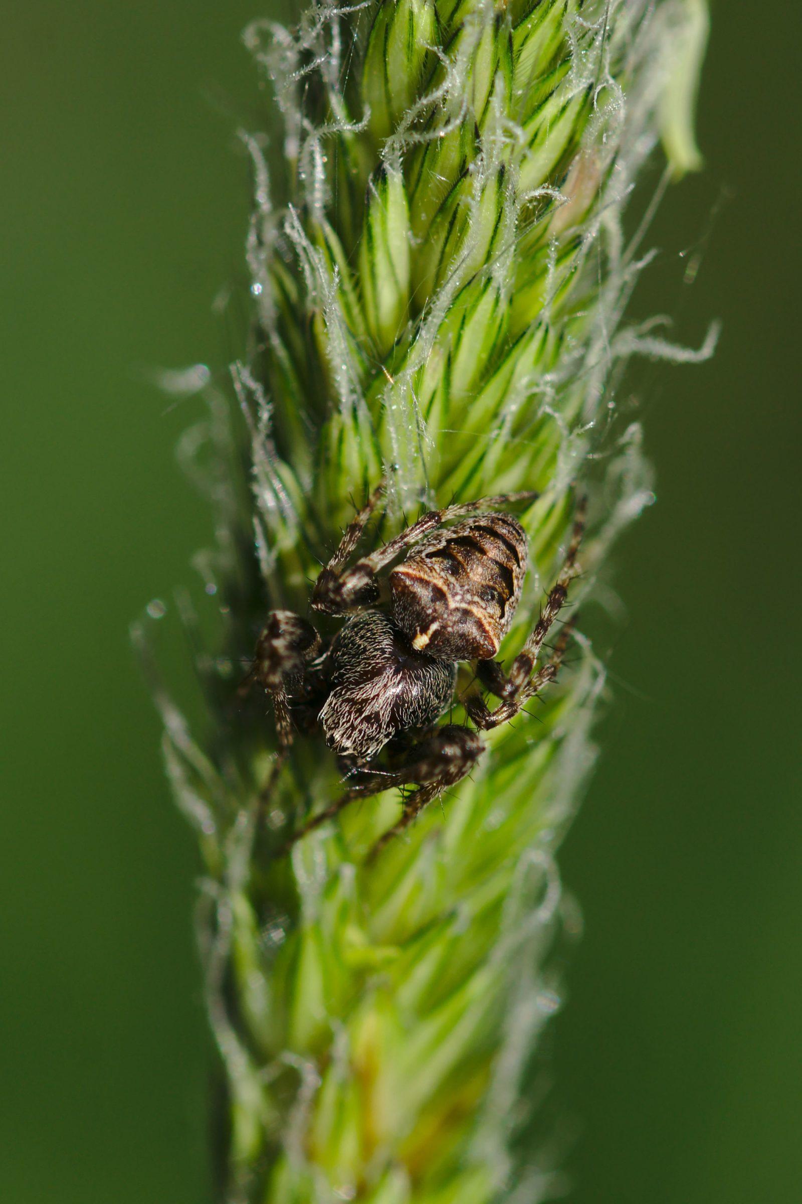 <i>Gibbaranea bituberculata</i> (Zweihöckerige Kreuzspinne)
