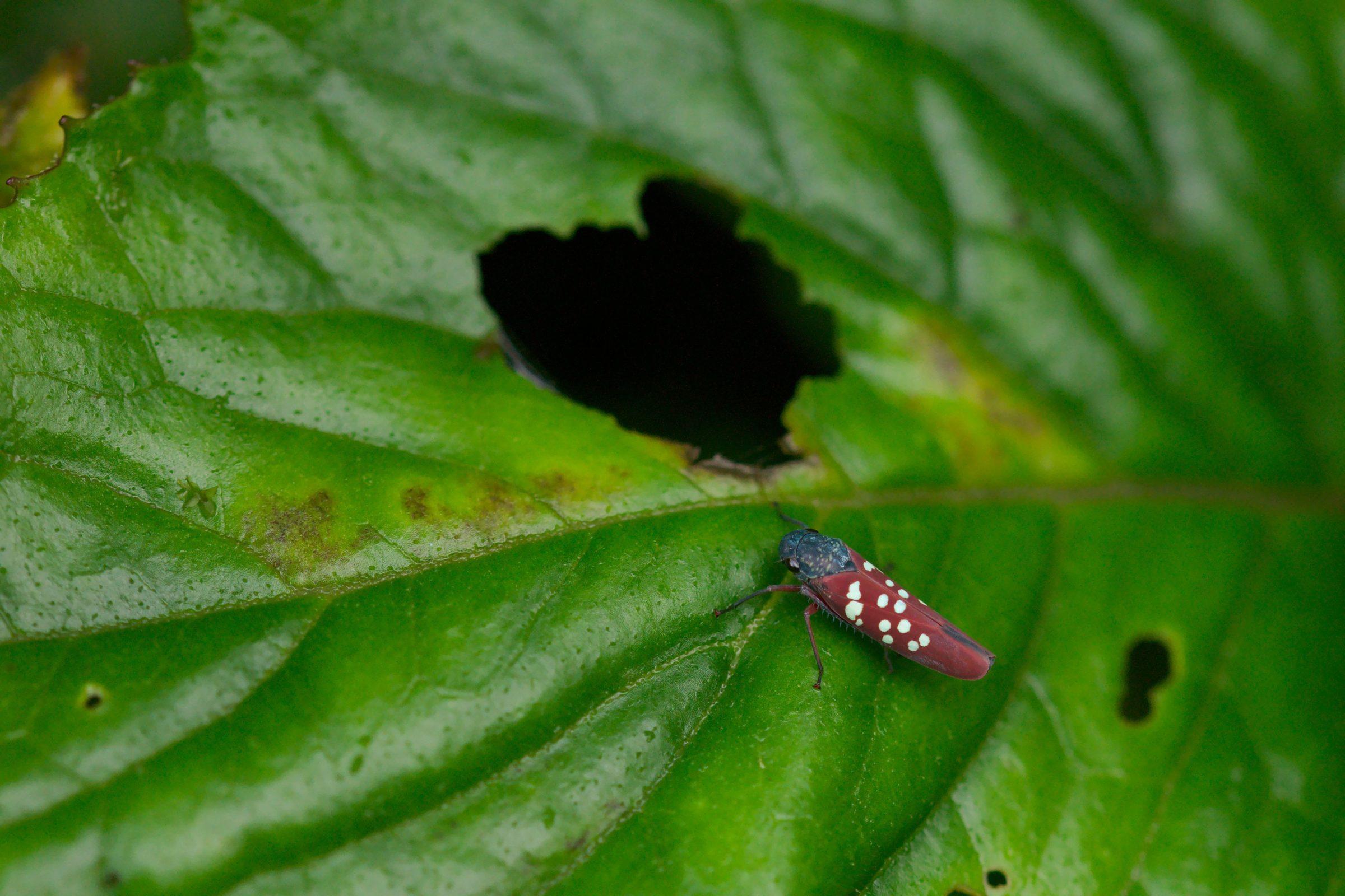 "<a href=""/graphocephala-albomaculata"" target=""_blank"" rel=""noopener noreferrer""><i>Graphocephala albomaculata</i> (Zwergzikade)</a>"