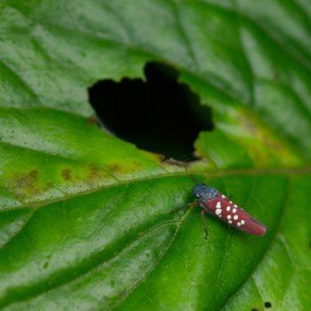 Graphocephala albomaculata (Zwergzikade)