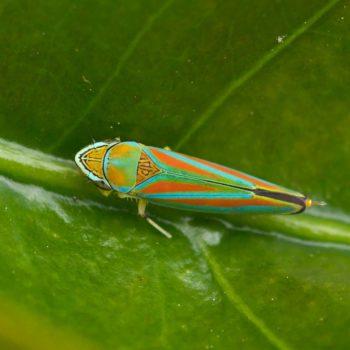 Hemiptera (Schnabelkerfe)