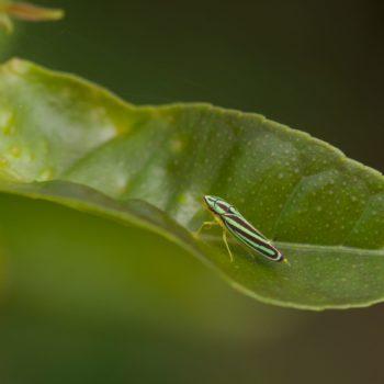 Graphocephala sp. (Schmuckzikade)