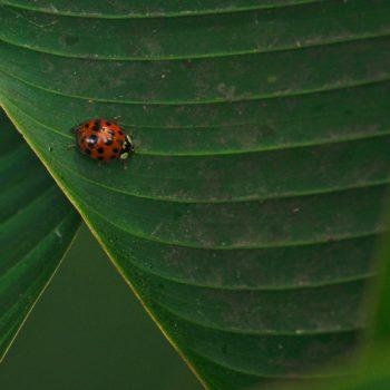 Harmonia axyridis (Asiatischer Marienkäfer)