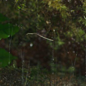 Keroplatidae sp. (Langhornmücke) - Costa Rica