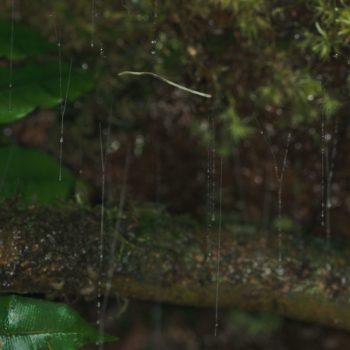 Keroplatidae sp. (Langhornmücke)