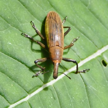 Lixus sp. (Rüsselkäfer)