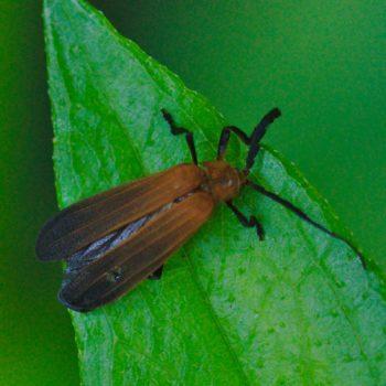 Lycidae sp. (Rotdeckenkäfer) - Costa Rica