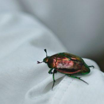 Macraspis sp. (Blatthornkäfer)