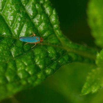 Macunolla ventralis (Zwergzikade)