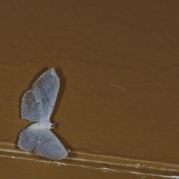 Mysidia sp. (Mottenzikade)