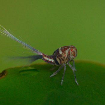 Nogodinidae sp. (Zikade)