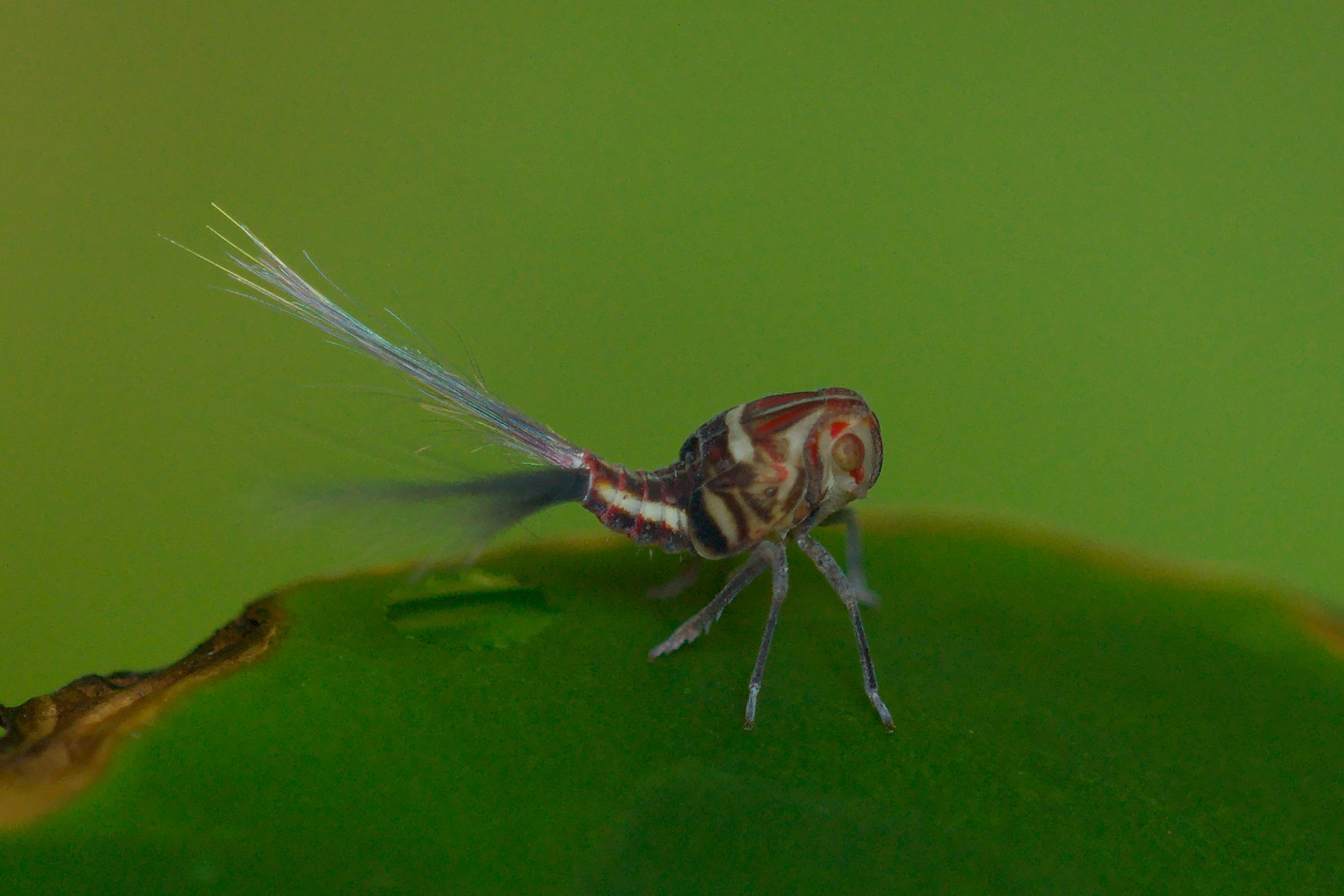"<a href=""/nogodinidae-sp-costa-rica"" target=""_blank"" rel=""noopener noreferrer"">Nogodinidae sp. (Zikade)</a>"