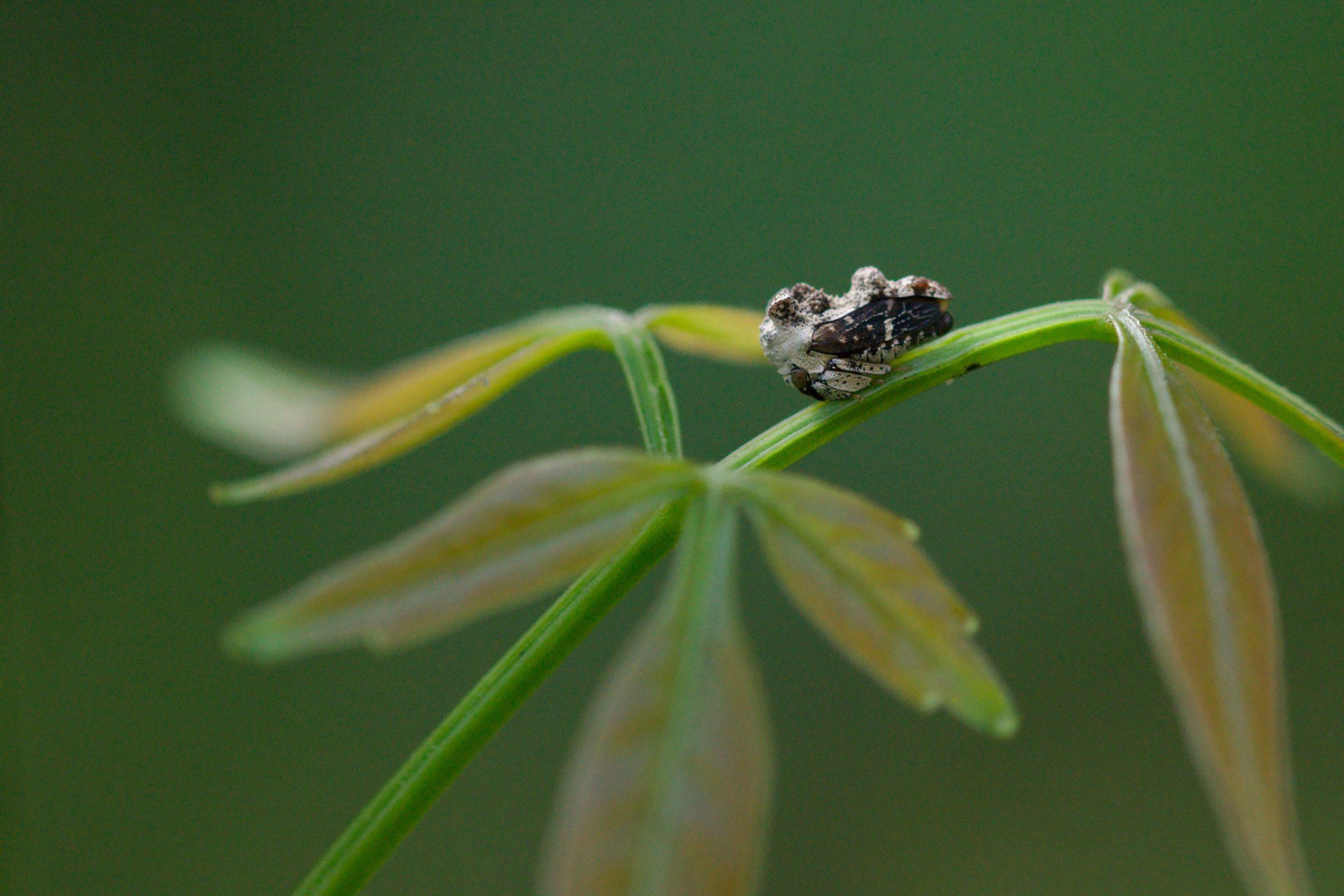 "<a href=""/notocera-bituberculata"" target=""_blank"" rel=""noopener noreferrer""><i>Notocera bituberculata</i> (Buckelzirpe)</a>"