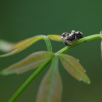 Notocera bituberculata (Buckelzirpe)