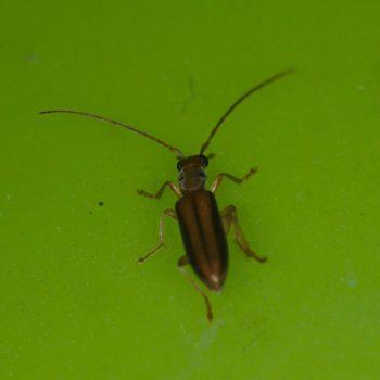 Oedemeridae sp. (Scheinbockkäfer)
