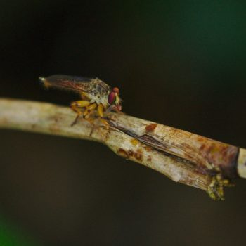 Ommatius sp. (Raubfliege)