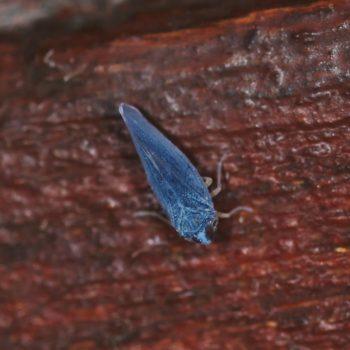 Omolicna sp. (Mottenzikade)