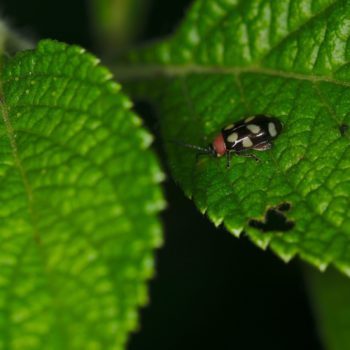 Omophoita cyanipennis (Eight-spotted Flea Beetle)