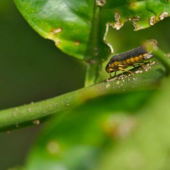 Oncometopia sp. (Schmuckzikade)
