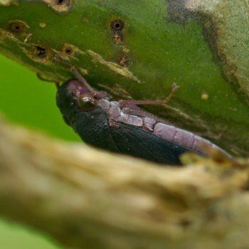 Oncometopia sp. (Schmuckzikade) - Costa Rica