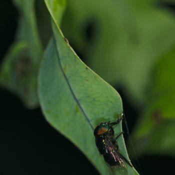 Ornidia obesa (Schwebfliege)