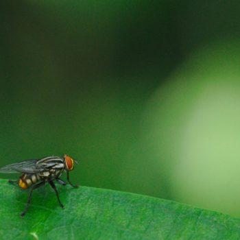 Oxysarcodexia sp. (Fleischfliege)